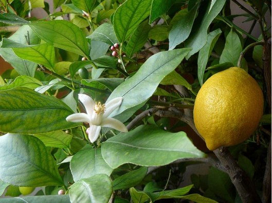 amazing lemon