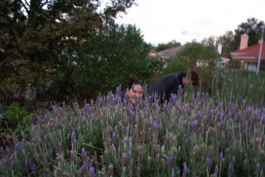Lavender Ariston