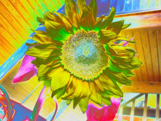 sunflower_by_selinarainbowmoon-d5k5iur