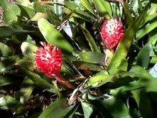 Bilbergia Pyramidalis