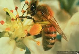 honeybee pollen