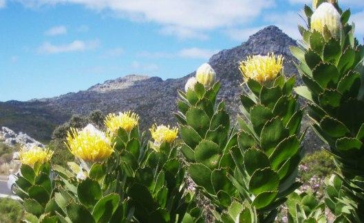 Sugarbush (Leucospernum)