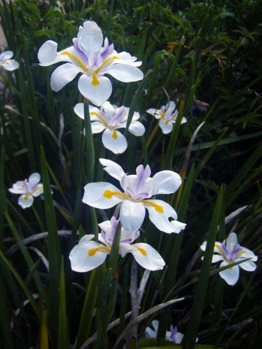 wild_iris____dietes_grandiflora_by_selinarainbowmoon-d5fq5yf