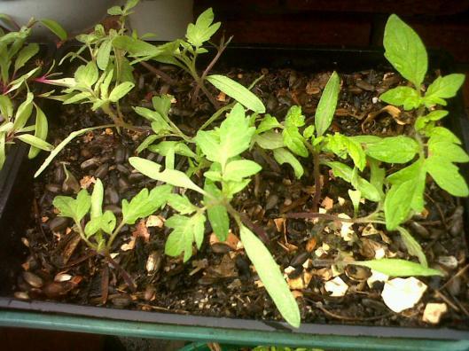 heirloom tomato 2