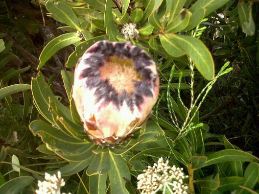 protea black2