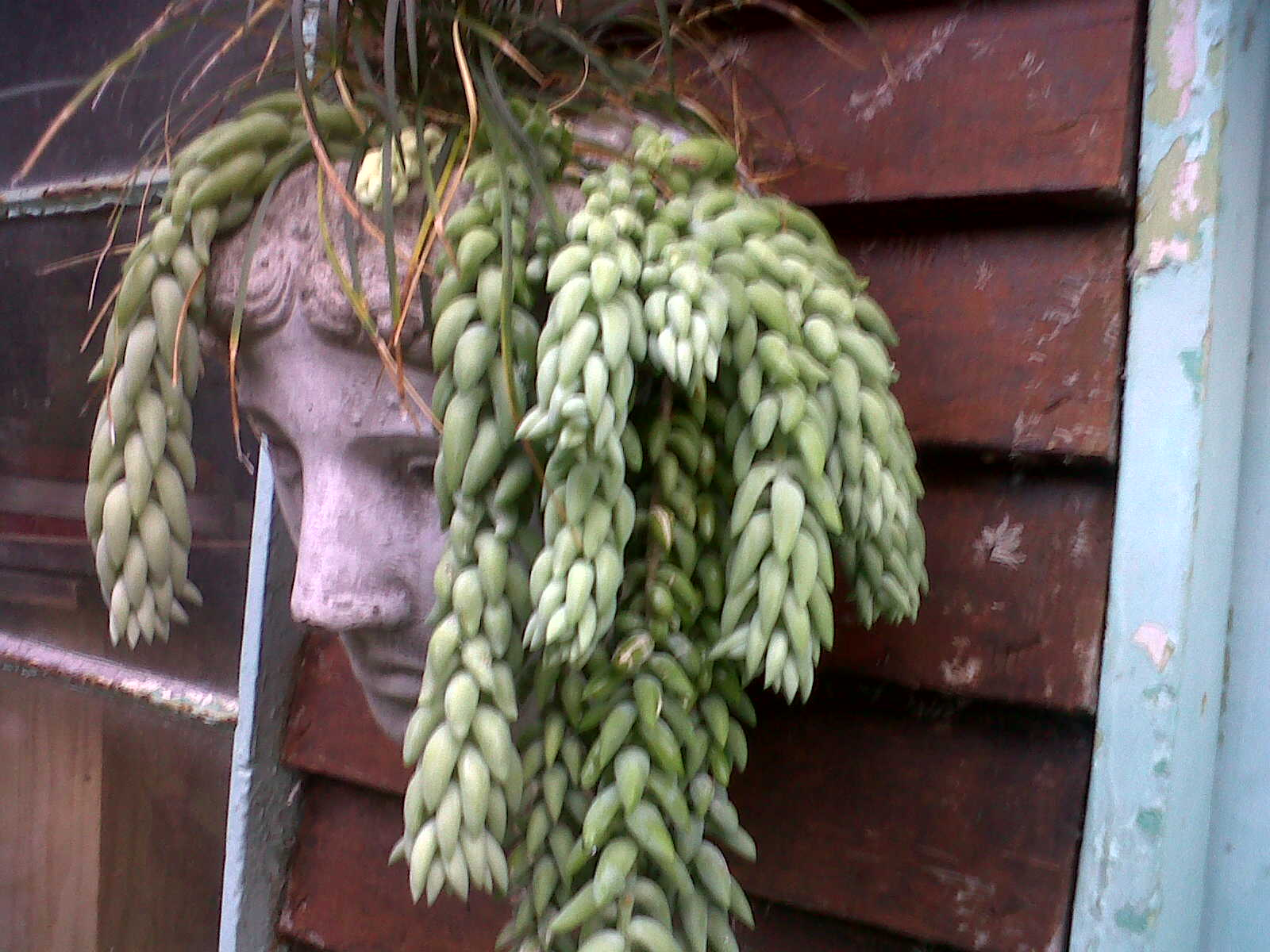 Medusa Planter Donkey S Tail Or Medusa Aristonorganic