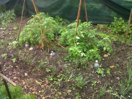 worm garden tomatoes