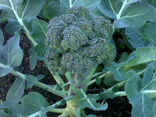 bonnies brocolli 2