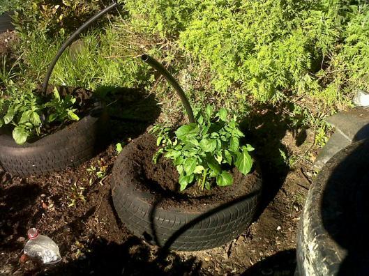 winter garden potaoes 2