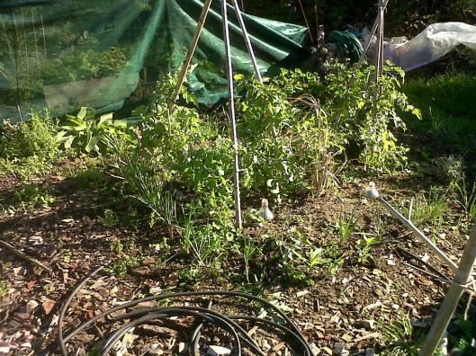 worm garden tomatoes 2