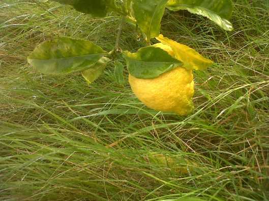 ariston lemon