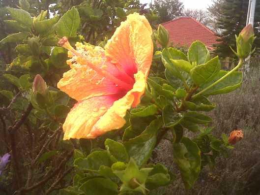 june hibiscus 1