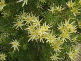 Leucodendron Stars