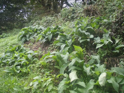 Comfrey is grown on the outside slope of the Insect Hotel to encourage decomposition and create a healthy environment