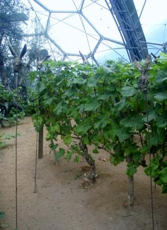 Rabbits in the vineyard