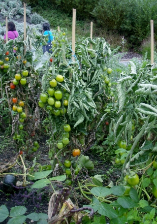 Tomatoes in abundance