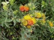 protea species