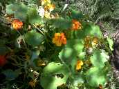 Nasturtiums growing wild