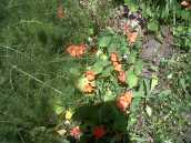 Fennel and Nasturtiums in Medicinal garden
