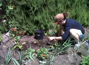 Leigh transplanting spinach