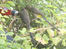 Sugar-birds at water feeder