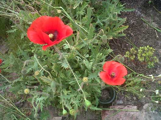 "The Poppies have escaped in Ariston, especially for ""Remembrance Day"""