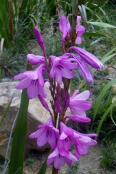 Watsonia