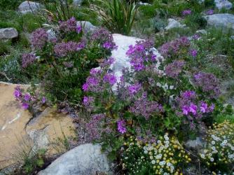 Pelargonium cucullatum - Wild Malva