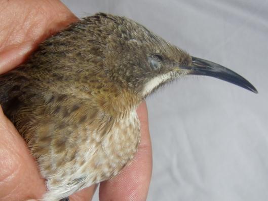 Baby Sugarbird