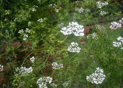 Coriander - seed saving