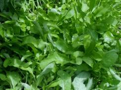 Rocket micro greens