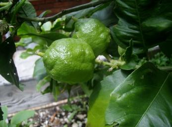 Lemons forming