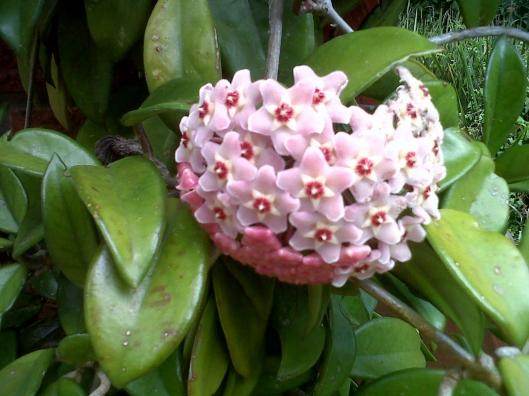 Hoya carnosa - The Wax plant