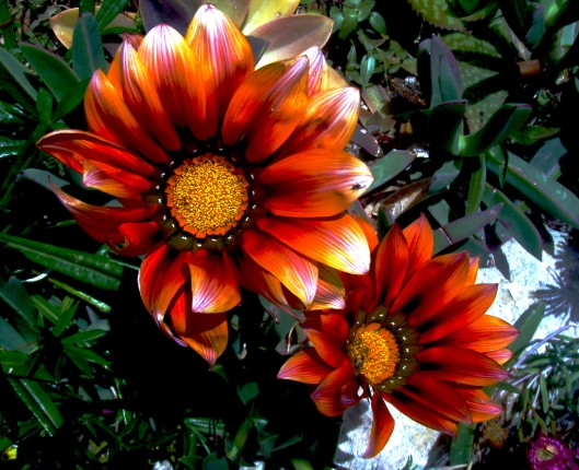 Gazanias Gazanias are grown for the brilliant colour of their flowerheads which appear in the late spring and are often in bloom throughout the summer into autumn. They prefer a sunny position and are tolerant of dryness and poor soils