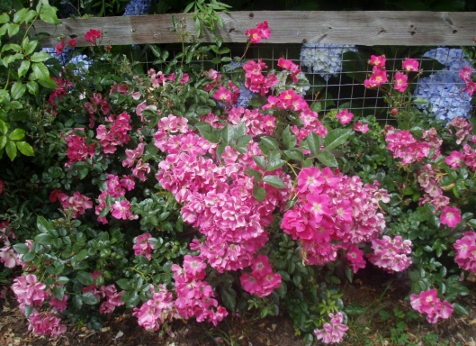 Pretty Pink on the fence