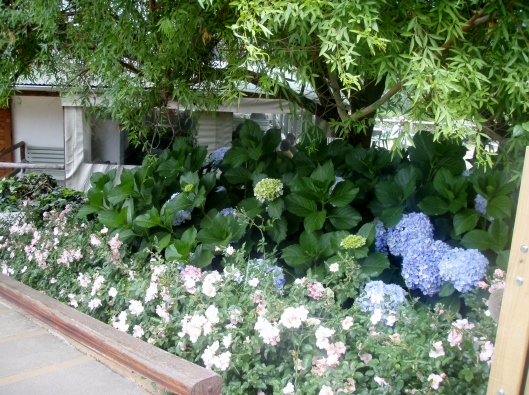 The Hydrangeas
