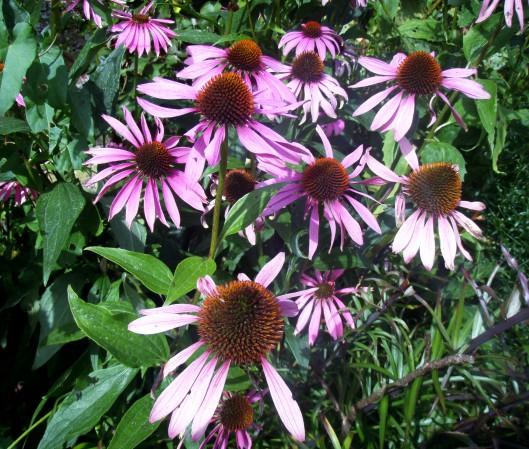 Cone-flowers - Echinacea