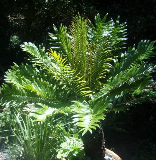 Mini tree fern - Blechnum Tabulare