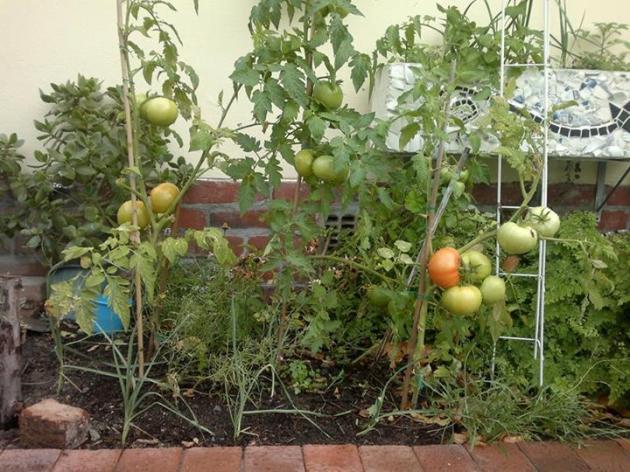 Carol's tomato