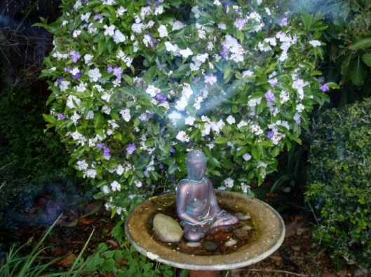 Brunfelsia grandiflora is a flowering shrub in the nightshade family. It is native to South America. In English is known by the common names royal purple brunfelsia, kiss-me-quick, and yesterday-today-and-tomorrow. In Peru it is known by the Spanish-Quechua name chiric sanango.