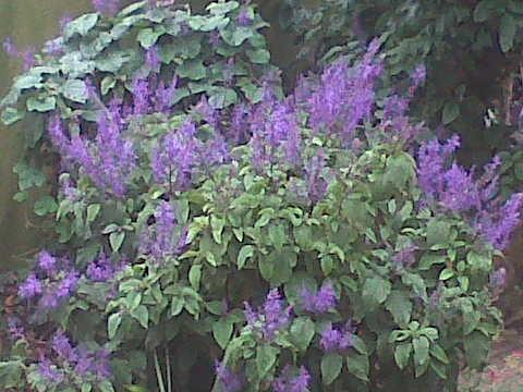 Plectranthus ecklonii - Purple