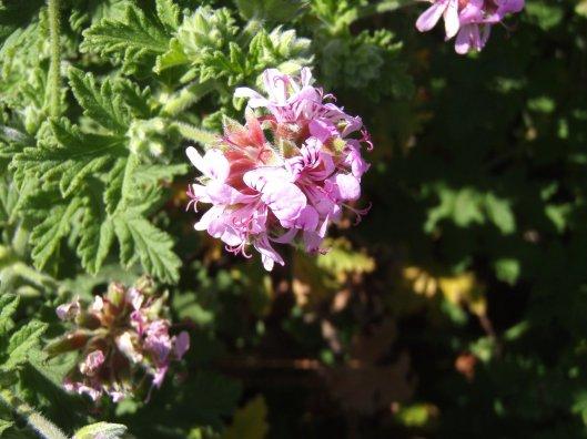 Rose Geranium - Pelargonium Graveolens