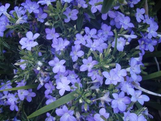 Bush Violet - Barleria repens