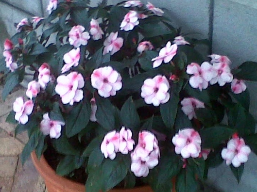 New Guinea Impatiens, such a joy in the shade