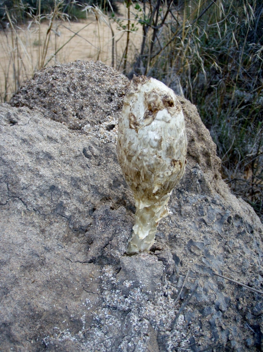 False Ink Cap - Podaxis pistallaris. Can you see the face