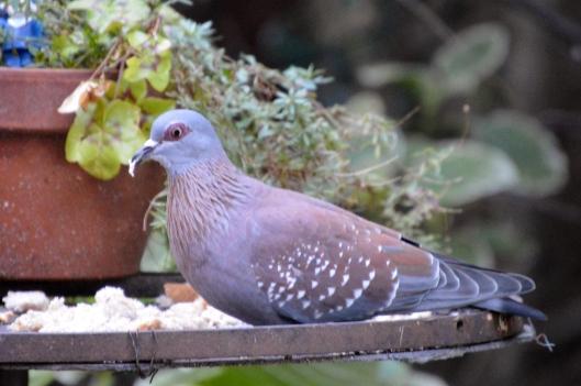 African Rock Pigeon