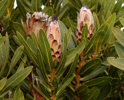 The  Beard Sugarbush is full bud. (Protea neriifolia)