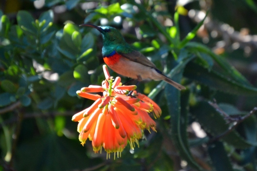 Southern double collared Sunbird