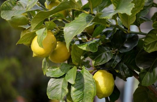 Lemon tree oh so pretty