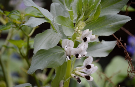 Broad Beans in flower